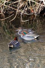Common Teal  (Yoshihiro Ogawa) Tags: bird birds aves