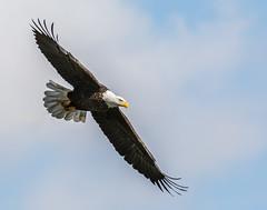 Bald Eagle (Collins93) Tags: bird animal nikon eagle wildlife bald conowingo