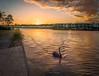 Swan at the Lagoon (dazza17 - DJ) Tags: sigma foveon dp1 quatrro daryljames httpdaryljamesphotographycom runawaylagoons sigmaquattra swannaturehdr
