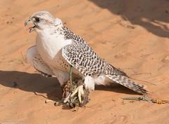 8Q2A1310_DxO (maskirovka77) Tags: dubai desert hunting beak raptor owl falcon hood sharjah unitedarabemirates falcons raptors avian barnowl hunt birdsofprey lure birdofprey falconry talons natureconservancy stooping falconeer peregrinefalcon gyrfalcon pergrine falconexperience alshuwaib arabiandeserteagleowl royalshaheen clawsarabiandeserteagleowldubainatureconservancypergrineraptorsroyalshaheenbirdofpreybirdsofpreyfalconfalconexperiencefalconsowlraptoralshuwaibsharjahunitedarabemirates