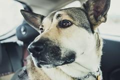 Backseat Driver (AllieKF) Tags: dog car closeup mix ride go germanshepherd canoneos70d proudlakerecreationarea ef40mmf28stm