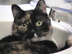 2003_08_16_sophie-8 (dsearls) Tags: cat sink kitty 20030816 catfromspace lolcat standingmonkey standingmonkeytheory