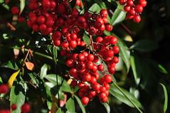 Heavenly bamboo; nanten (Nandina domestica) (kyoshiok) Tags: japan garden berry kyoto nandinadomestica heavenlybamboo nanten