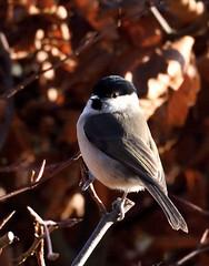 Marsh Tit 1 (Tim Harris1) Tags: bird norfolk marshtit helhoughton nikond7100 nikkorafs80400