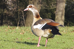 Egyptian Goose (Alopochen aegyptiacus) (Nexus Nine Photography) Tags: park kewgardens bird london nature animal kew gardens goose egyptian creature fugl biology ornithology oiseau vogel uccello ku chim zog fgel lintu ibon burung adar ptas anatidae alopochen aegyptiacus  ptica ndege avem vol pasre qu pjaro zwazo pssaro an