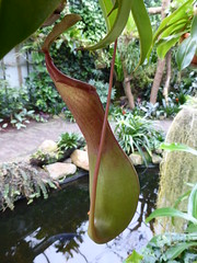 Orchideenhoeve, Nepenthes, 2014 (Alta alatis patent) Tags: cup carnivore pitcherplant bekerplant monkeycup orchideeenhoeve nepenthesreinwortiona