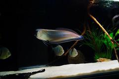 Black arowana (difemota) Tags: fish black monster predator negra arowana aruanã carnívoro