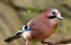 Jay Bird. (nondesigner59) Tags: bird nature closeup jay wildlife garrulusglandarius eos50d nondesigner nd59 copyrightmmee