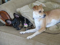 January 2, 2015 (31) (gaymay) Tags: california gay love dogs happy desert palmsprings kitty triad ozmo greyhuahua