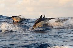 Delphine in der Biscaya