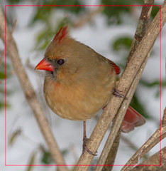 Lady Cardinal (tresed47) Tags: home birds us cardinal pennsylvania content places folder takenby chestercounty 2015 peterscamera petersphotos canon7d 20150106homebirds 2015jan