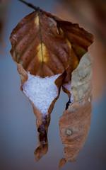 Dans sa hotte (Pics_Fab) Tags: winter snow nature leaf hiver neige feuille picsfab