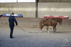 2015.01.04 - Stage travail  pied avec Felix-Marie Brasseur (NosChevaux.com) Tags: horses horse cheval stage chevaux paard paarden brasseur attelage noschevauxcom felixmariebrasseur felixmarie