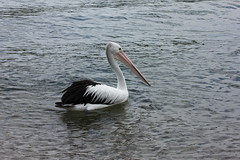 White Feathers (Gillian Everett) Tags: pink white black feathers australia pelican queensland 60mm noosariver pelecanus conspicillatus sooc macrolensefs60mm mdpd2015 mdpd201501