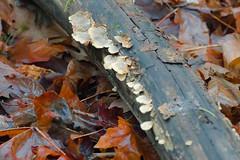 Winter in the Wood's. (Omygodtom) Tags: park abstract detail art nature mushroom leaves oregon contrast season mushrooms yahoo google log nikon flickr natural explorer fungus bing facebook oaksbottom twitter d7000 nikon70300mmvrlens