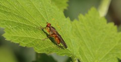 Dung Fly (Tes B I) Tags: insect fly insects flies
