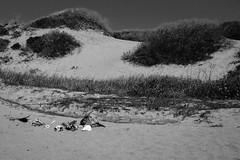 Bones (pete lok) Tags: ocean california park white elephant black beach monochrome skeleton ana state dune grain seal northern nuevo