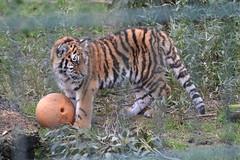 DSC_3562 - Amur Tiger cub (102er) Tags: uk nature animal animals fauna zoo nikon wildlife tiger siberian tamron blackpool amur amurtiger 70300 d3100