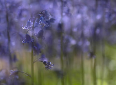 The world of bluebells (V Photography and Art) Tags: flowers blue light sunlight macro nature sunshine bluebells spring soft dof close purple bokeh low perspective naturallight depthoffield dreamy