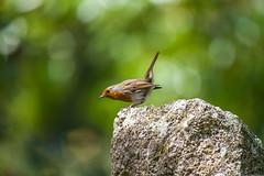IMGP0104 (silverfish51) Tags: green bird nature garden pentax bokeh sigma granite 50500 songbird k1 robim
