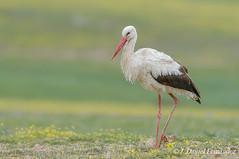 Cautela (Dani (Atrus)) Tags: espaa naturaleza birds fauna aves whitestork ciconiaciconia cigeablanca jdanielfernndez elrincndelosprotegidos