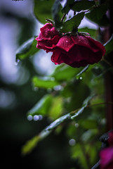 It's raining again... (Angelo Petrozza) Tags: red rose pentax bokeh rosa again 55mm raining rosso pioggia supertramp sfocato manuallens