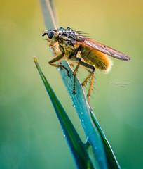 The water carrier (Ingeborg Ruyken) Tags: morning macro green grass insect fly spring waterdrop flickr groen may gras mei lente dropbox ochtend vlieg 2016 grashalm empel waterdruppel strontvlieg natuurfotografie yellowdungfly empelsedijk 500pxs 2016lente