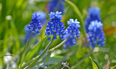 Blue and green. Muscari or Grape Hyacinths #Finland #Spring (L.Lahtinen (nature photography)) Tags: muscari spring flowers blue dof green helmililja nikond3200 nature nikkor kevät kevätkukat helmihyasintti finland suomi luonto bokeh 55300mm 55300mmf4556gvr beauty colorful europe helsinki