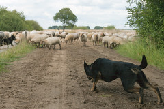 Watcher (sole) Tags: travel dog holland netherlands dutch animals rural europe sheep action country nederland bordercollie herd shepard drenthe actionphoto sole carmengonzalez dwingelderveld