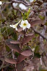 Odontadenia lutea (Mauricio Mercadante) Tags: taxonomy:binomial=odontadenialutea odontadenialutea odontadenia apocynaceae cerrado estaoecolgicadojardimbotnicodebraslia