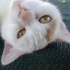 Penny  (heinzstrobel1) Tags: portrait cute cat sweet penny katze funnycat