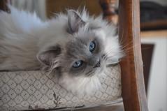 Princess Grace (Silvans Cat) Tags: cats cat nikon princess grace gatto gatti ragdoll principessa d90 nikond90