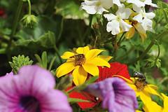 it's time to eat (Sentieri) Tags: flowers yellow spiders sting violet bee ape hornet fiori fiore piante api margherita insetto insetti pianta violetta polline calabrone