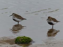 Dunlin  P1250746 (ianpreston) Tags: birds northumberland dunlin 2016 beadnellbay