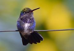 Beija-flor-de-peito-azul (Amazilia lactea) (Anderson_Almeida_) Tags: brazil minasgerais bird nature garden nikon hummingbird birdwatching estiva d3100