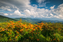 Flame Azalea Spring Flowers North Carolina Appalachian Trail Roan Mountain (Dave Allen Photography) Tags: flowers orange mountains nature landscape outdoors nc spring azaleas tn tennessee scenic northcarolina trail appalachian springflowers appalachiantrail appalachians roanmountain flameazalea at