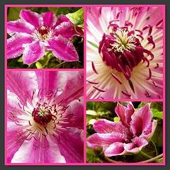 In the pink (Martha-Ann48) Tags: clematis souvenir du capitaine thuilleaux pink striped white petals flowers blooms blossoms stamens garden climber plant