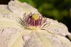 DSC_3946 (sykora_greg) Tags: flower water rain garden nikon sigma 20mm 1770 kenko d3300