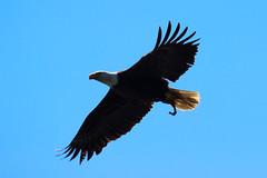 Eagle With Food (A.G. Buron Photography) Tags: blue bird birds flying eagle outdoor bluesky crescentbeach eagles predatory predatorybirds armandburon