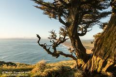 Point Reyes Gold (Marsha Kirschbaum) Tags: california sunset lighthouse gold cypresstree pointreyesnationalseashore oceanscape gnarledbark marshakirschbaum sonya7rii