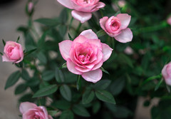 IMG_5309 (Nikan Likan) Tags: pink paris flower color green up field rose zeiss vintage lens prime close purple blossom bokeh 10 jena german carl m42 ddr f2 blade manual 58mm depth 1962 | 2016 biotar