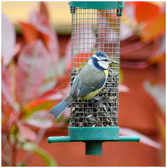 Seed Time (wollemigrape477) Tags: bird birds animal wings tits wildlife feathers perch feeders bluetit greattit