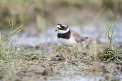Chorlitejo grande (Charadrius hiaticula) (Enrique Fernandez Fernandez) Tags: naturaleza aves hide lugares 2016 charadriushiaticula caleraychozas chorlitejogrande