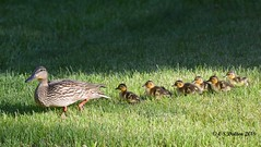 June 5, 2016 - A mallard hen gets her ducklings in a row. (Ed Dalton)