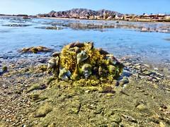 IMG_0170 (Tina A Thompson) Tags: sonora seashells mexico sealife seashell marinebiology tidepools seaofcortez marinelife chollabay mexicobeaches chollabaymexico