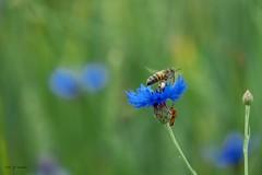Bleuet surpeupl. (jpto_55) Tags: fleur bleuet abeille insecte xe1 bokeh fuji fujifilm fujixf55200mmf3548rlmois midipyrnes france