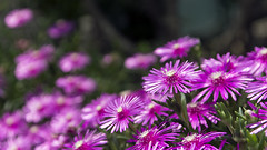Purple Livingstone Daisy (Johnnie Shene Photography(Thanks, 1Million+ Views)) Tags: wild summer flower macro nature floral horizontal closeup canon lens wonder photography daylight dc interesting flora day purple natural outdoor wildlife sigma tranquility nopeople korea depthoffield bunch daisy modified magnified awe sideview chrysanthemum arrangement tranquil adjustment freshness  livingstonedaisy  fragility  1770mm colourimage f284 foregroundfocus livingorganism  eos600d rebelt3i kissx5