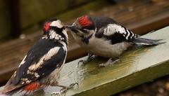 image (green gennii) Tags: male female garden woodpecker feeding young peanuts jersey feeders juvenile greaterspotted juvenilemale greaterspottedwoodpeckers