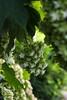 2016 Hydrangea #20 (Yorkey&Rin) Tags: flower japan tokyo bokeh july olympus hydrangea chofu rin 2016 jindaiji 紫陽花 東京都 em5 7月 調布市 柏葉紫陽花 leicadgsummilux25f14 t7101267 深大寺付近