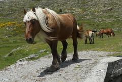 Le chef (Franois Magne) Tags: cheval libert poulain jument blond blonde bai frange montagne etang lanoux estany de lanos lac talon pyrnes